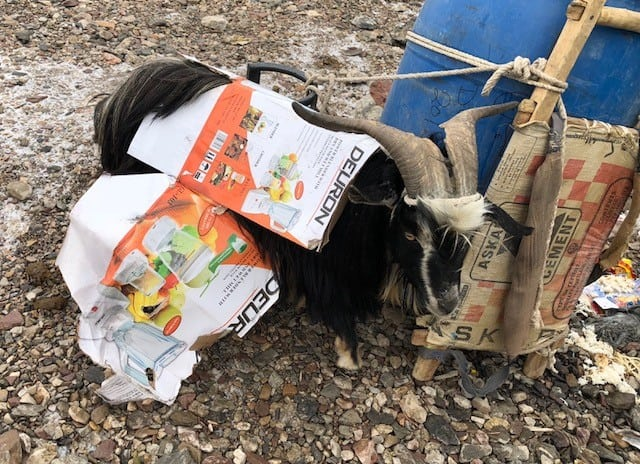 How to keep your goat insulated on the way to basecamp - wrap it in a blender box!